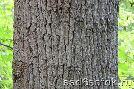 Здоровая кора плодовых деревьев