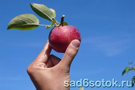 Собираем урожай яблок