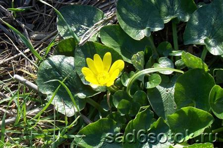 Чистяк весенний (Ranunculus ficaria)