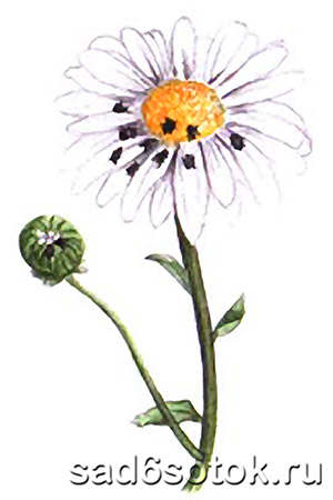 Цветоед рапсовый
