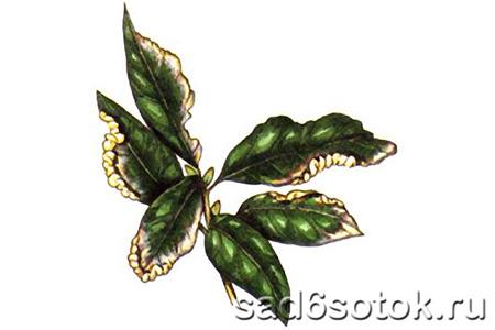 Листоблошка лавровая