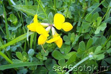 Лядвенец рогатый (Lotus corniculatus)