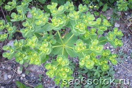 Молочай солнцегляд (Euphorbia helioscopia)