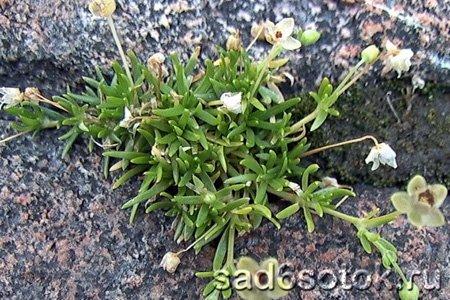 Мшанка лежачая (Sagina procumbens)