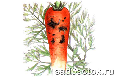 Повреждение моркови личинками морковной мухи