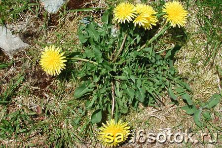 Одуванчик лекарственный (обыкновенный) (Taraxacum officinale)