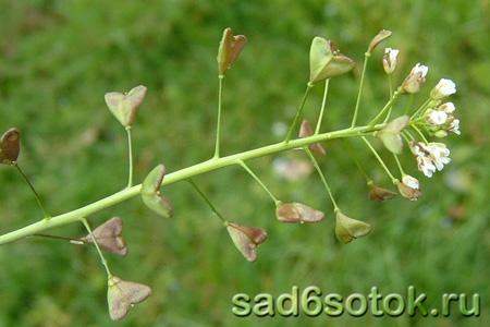 Продолжить чтение: Пастушья сумка обыкновенная (Capsella bursa-pastoris)