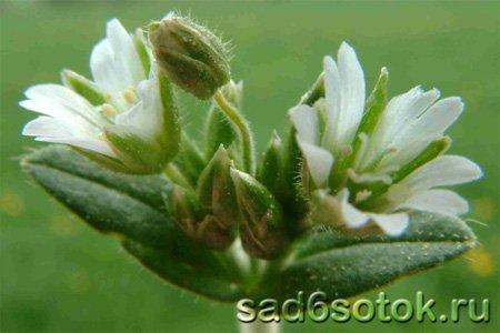 Ясколка дернистая (Cerastium holosteoides)