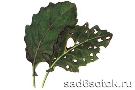 Повреждение листьев земляными блошками