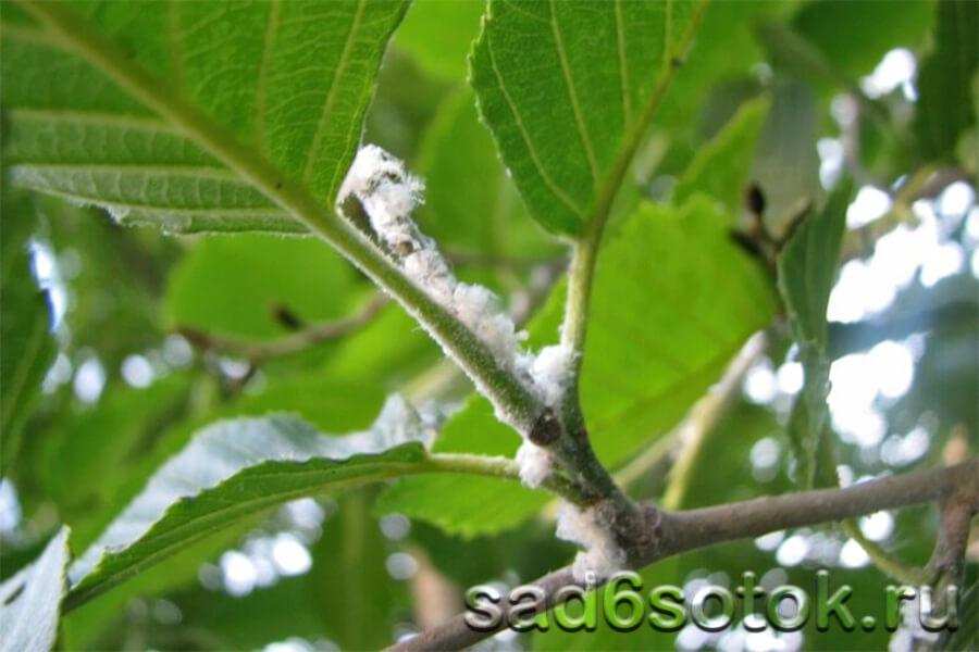 Дерево, зараженное мучнистым червецом