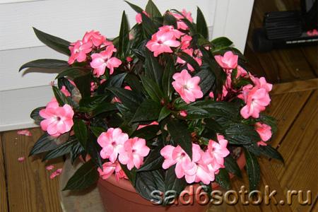 Комнатные цветы и кустарники с розовыми цветами: домашние 49