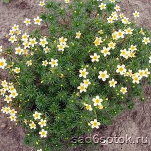 Линантус проломниковый Конфетти (Linanthus androsaceus Confetti)