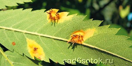 Эции возбудителя ржавчины листьев