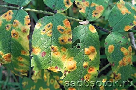 Ржавчина листьев рябины