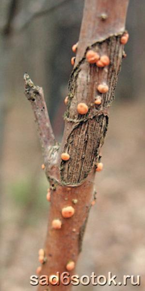 Конидиальные стромы возбудителя туберкуляриевого некроза
