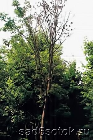 Усыхающее дерево рябины, пораженное черным некрозом