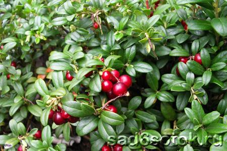 Брусника – лесные витамины на грядке