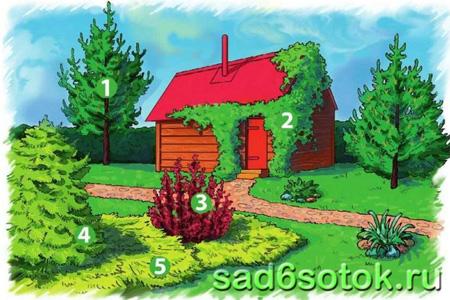 Хвойные растения в озеленении участка