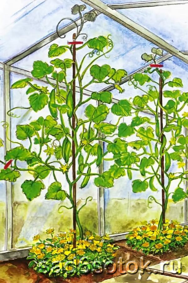 Как правильно формировать растение салатного огурца