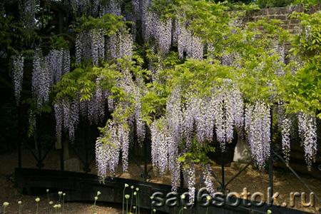 Глициния пышноцветная, или обильноцветущая (Wisteria floribunda)