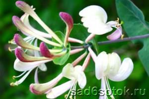 Жимолость каприфоль в цвету