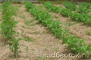 Картофель – выращивание и уход
