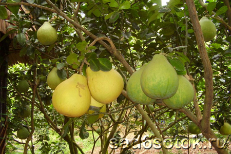 Как рассадить плодовые деревья