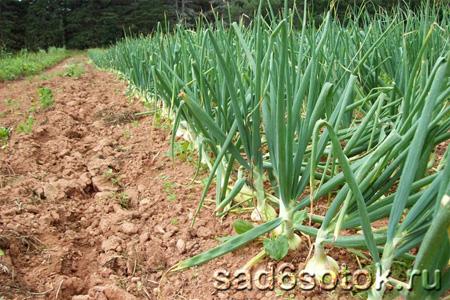 Оптимальные условия для выращивания лука