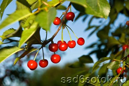 Вишня – выращивание и уход
