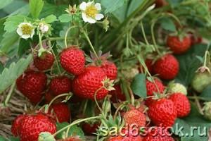 Изображение - Выращивание клубники vyraschivanie-klubniki-300x200