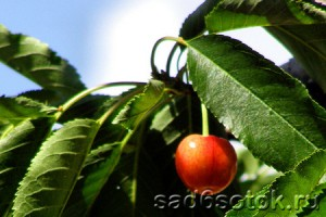 obrezka-chereshni-300x200.jpg