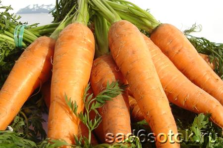 Морковь – правила выращивания
