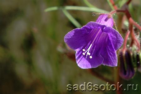 Фацелия колокольчатая (Phacelia campanularia)
