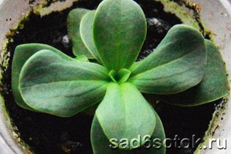 Подросшее молодое растение