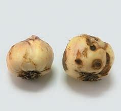 Луковицы рябчика: слева здоровая, справа заболевшая