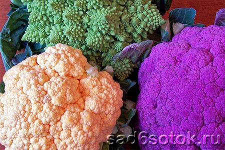 Цветная капуста – разноцветная красавица