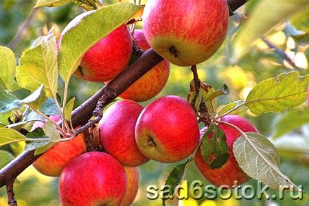Новые сорта яблонь, устойчивые к парше