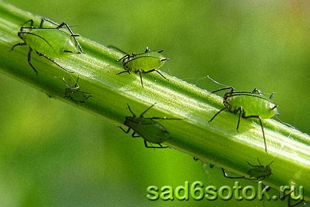 Какой пестицид эффективнее?