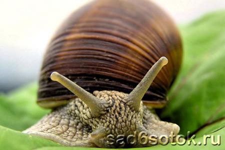 Моллюски (слизни и улитки)