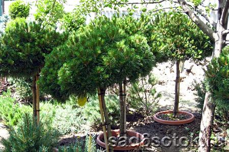 Декоративные растения в штамбовой форме