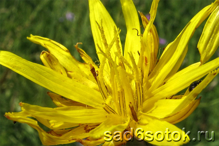 Цветок скорцонеры