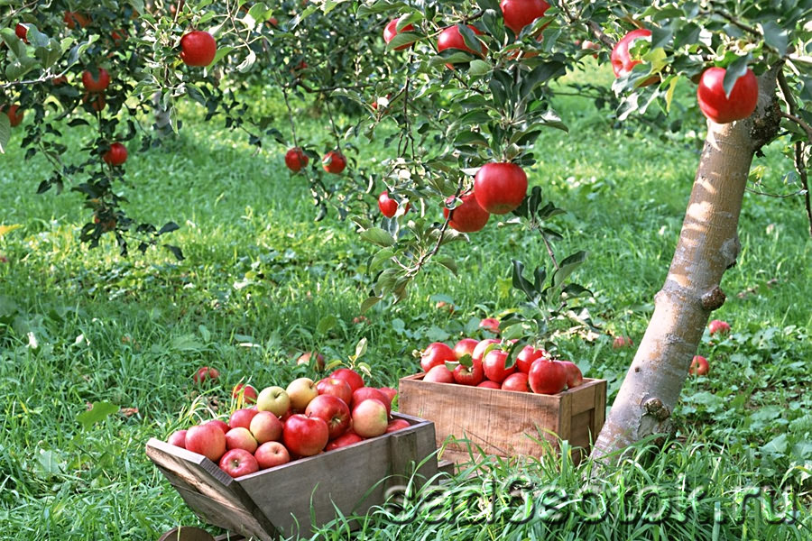 Система питания плодовых деревьев