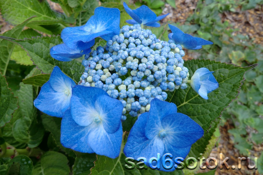Гортензия пильчатая сорт Блу Декле (Blue Deckle)