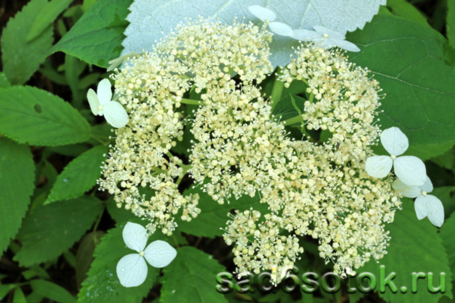 Гортензия лучистая (Hydrangea radiata)