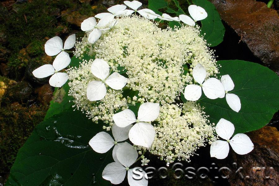 Гортензия пепельная (Hydrangea cinerea)
