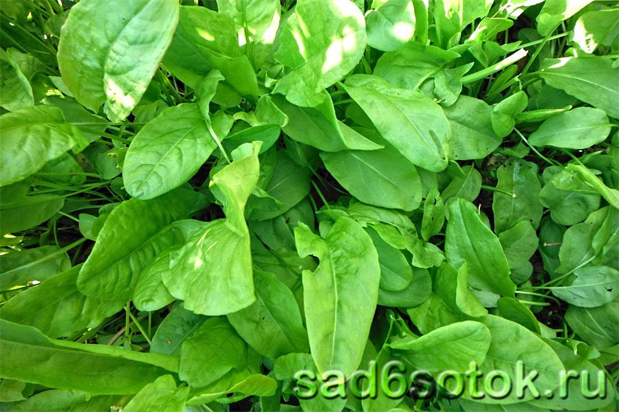 Щавель кислый - выращивание и уход