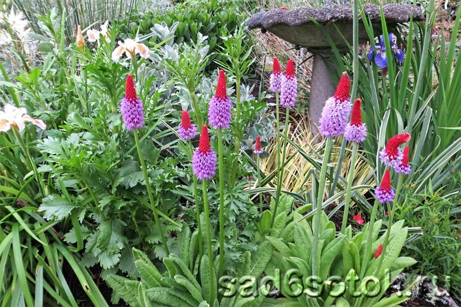 Примула Виаля, или орхидная (Primula vialii)