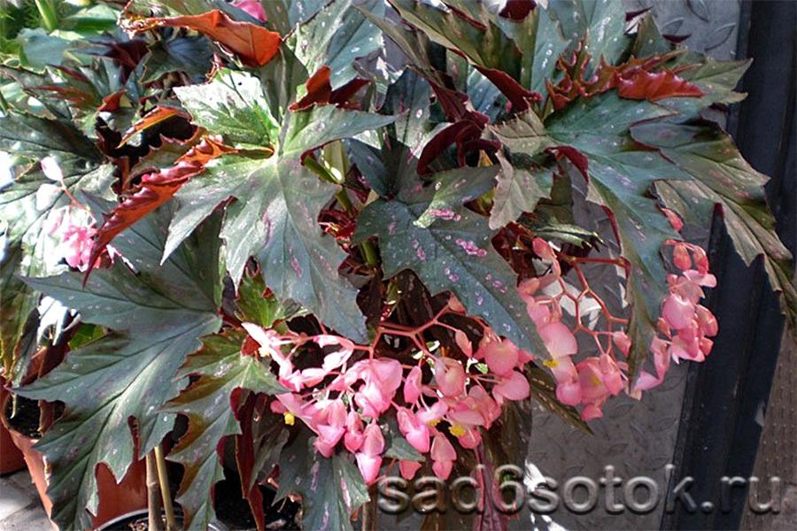 Бегония коралловая (Begonia corallina)