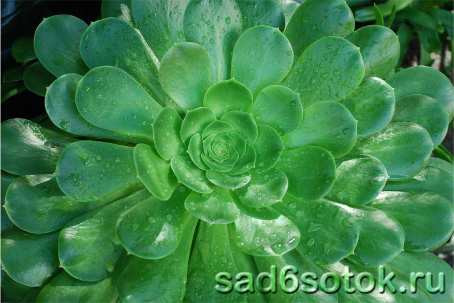 Семейство Толстянковых (Crassulaceae)