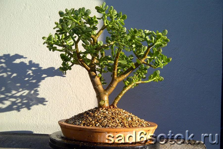 Толстянка овальная (Crassula ovata) или «денежное дерево»